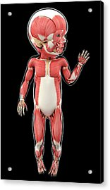 Baby's Muscular System Acrylic Print by Pixologicstudio