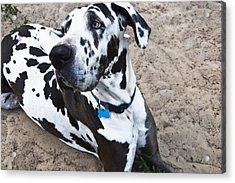 Bacchus The Great Dane Acrylic Print by Sharon Cummings