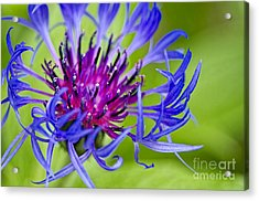 Bachelor Button Macro Acrylic Print by Sharon Talson