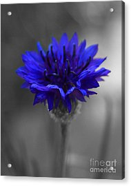 Bachelor's Button Acrylic Print