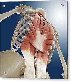 Back Muscles Acrylic Print