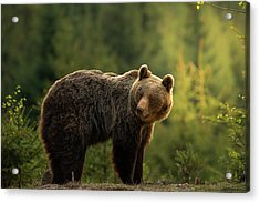 Backlit Bear Acrylic Print