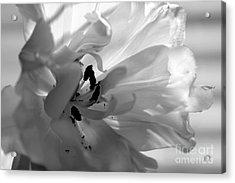 Backlit Black And White Tulip Acrylic Print