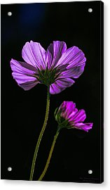 Backlit Blossoms Acrylic Print by Marty Saccone