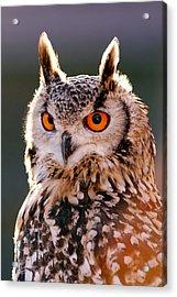 Backlit Eagle Owl Acrylic Print by Roeselien Raimond