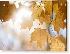 Backlit Fall Maple Leaves In Sunshine Acrylic Print