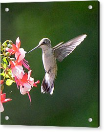 Backlit Fuchsia And Hummer Acrylic Print