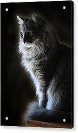 Backlit Kitty Acrylic Print by Carolyn Fletcher
