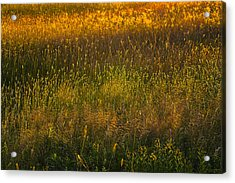 Acrylic Print featuring the photograph Backlit Meadow Grasses by Marty Saccone