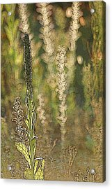 Backlit Mullein In A Meadow Acrylic Print