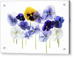 Backlit Pansies Acrylic Print by Photostock-israel/science Photo Library