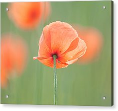 Backlit Poppies Acrylic Print