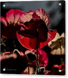 Backlit Poppy #2 Acrylic Print