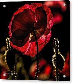 Backlit Poppy Acrylic Print