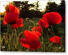 Backlit Red Poppies Acrylic Print by Mary Wolf