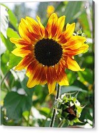 Backlit Sunflower Acrylic Print by Sheila Byers