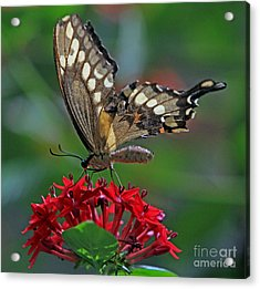 Acrylic Print featuring the photograph Backlit Swallowtail by Larry Nieland