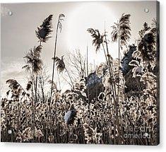 Backlit Winter Reeds Acrylic Print by Elena Elisseeva