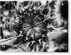 Backside Of Sunflower Acrylic Print