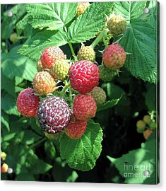 Acrylic Print featuring the photograph Fruit- Black Raspberries - Luther Fine Art by Luther Fine Art