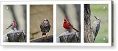 Backyard Bird Set Acrylic Print by Heather Applegate