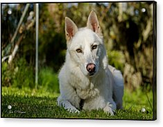 Backyard Dog Portrait 2 Acrylic Print