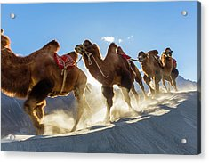 Bactrian Or Double Humped Camels Acrylic Print