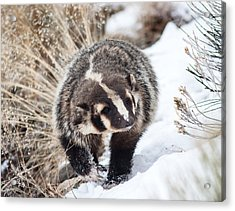 Badger In The Snow Acrylic Print