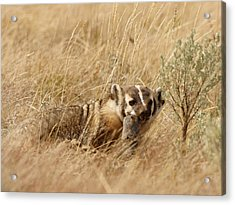 Acrylic Print featuring the photograph Badger With Prey by Jeremy Farnsworth