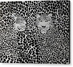 Badlepard  Acrylic Print