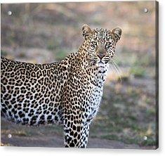 Bahati The Leopard In The Masai Mara Acrylic Print