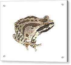 Baja California Treefrog Acrylic Print