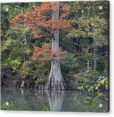Bald Cypress In White River Nrw Arkansas Acrylic Print by Tim Fitzharris