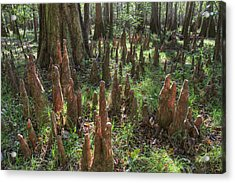 Bald Cypress Knees In Congaree National Park Acrylic Print by Pierre Leclerc Photography