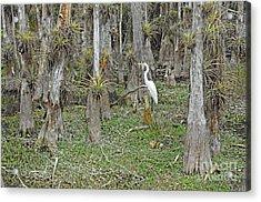 Bald Cypress Swamp With Great Egret Acrylic Print by John Serrao