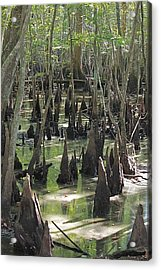 Bald Cypress Trees Acrylic Print by Jeanne Kay Juhos
