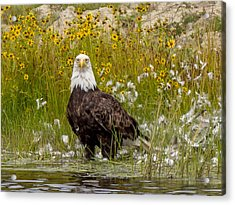 Bald Eagle @ Lunch  Acrylic Print