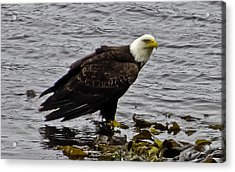 Acrylic Print featuring the photograph Bald Eagle 01 by Timothy Latta