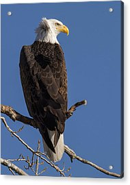 Acrylic Print featuring the photograph Bald Eagle 1 by Rob Graham