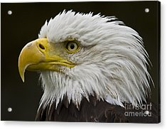 Bald Eagle - 7 Acrylic Print