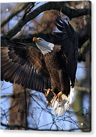 Bald Eagle Acrylic Print by Angel Cher