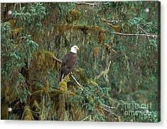 Bald Eagle Acrylic Print by Art Wolfe