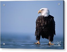 Bald Eagle At Low Tide Acrylic Print by Yva Momatiuk John Eastcott