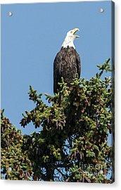 Bald Eagle Acrylic Print by Bob Dowling