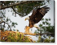 Bald Eagle Building Nest Acrylic Print