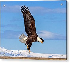 Bald Eagle Comming Down Acrylic Print