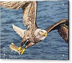 Acrylic Print featuring the drawing Bald Eagle Fishing  by Aaron Spong
