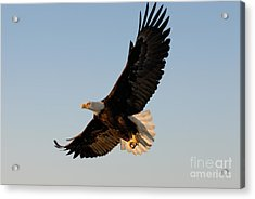 Bald Eagle Flying With Fish In Its Talons Acrylic Print by Stephen J Krasemann