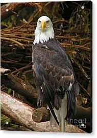 Bald Eagle I Acrylic Print by Chuck Flewelling
