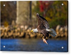 Bald Eagle In Flight Over Water Carrying A Fish Acrylic Print